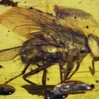 mosca antenati