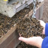 api-morte