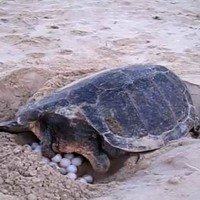 tartaruga_sicilia