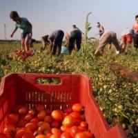 pomodori-immigrati-735x400