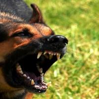 Pastore_tedesco cane morsi-2