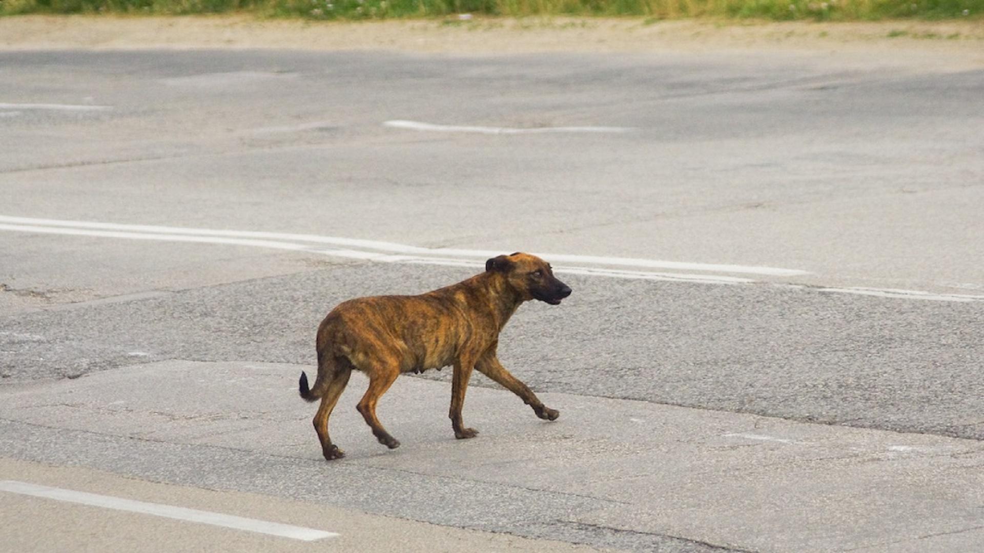 incidente cane randagio