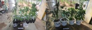 marijuana cava de' tirreni