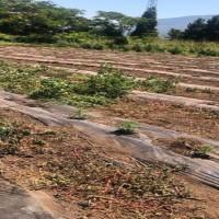 piantagione cannabis capaccio 1